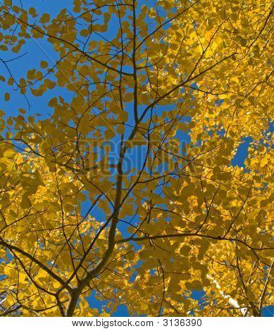 Aspen Leaves Under Blue Sky
