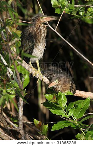 Pair of Green Heron Chicks - Everglades National Park, Florida