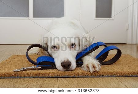 Puppy Dog Waiting For A Walk Next To The Door At Home With Leather Leash.