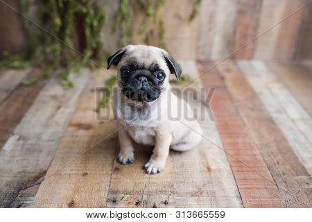 An Adorable Pug Puppy Sitting On White Background