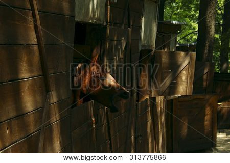 Horses In A Stable. Animals, Country Concept. Wooden Stable. Horses Look Out Of The Windows Of The S