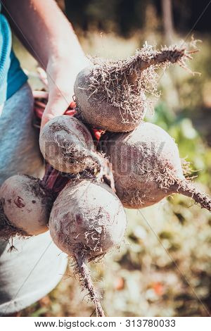 Red Agriculture Beetroot, Root Veggie Background. Autumn Harvest