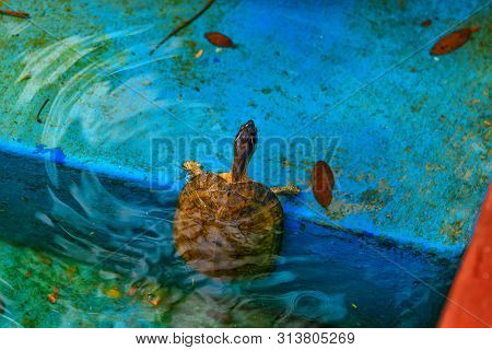 Red-eared Slider. Trachemys Scripta Elegans, Also Known As The Red-eared Terrapin.