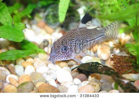 Aquarium fish (corydoras) on sand and plants