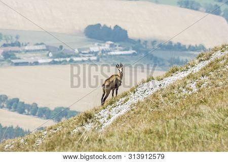 Alpine Chamois (rupicapra Rupicapra), Gader Valley, Big Fatra, Slovak Republic. Animal Scene. Hiking