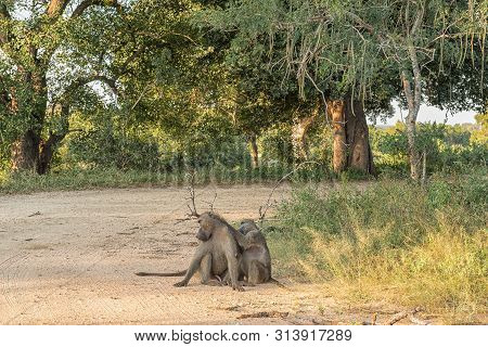 A Chacma Baboon, Papio Ursinus, Sitting In A Gravel Road, Being Groomed By Another Baboon