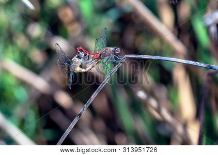 Pair Of Dragonflies Engaging In Sexual Intercourse While Perched On A Branch On The Outdoor Hiking T