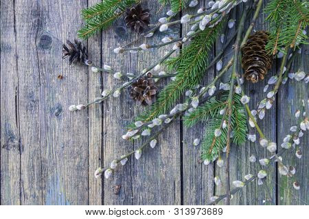 Pussy-willow, fir branches and bumps on old shabby wooden surface. Willow twigs in early spring. Flat lay, top view with copy space. poster