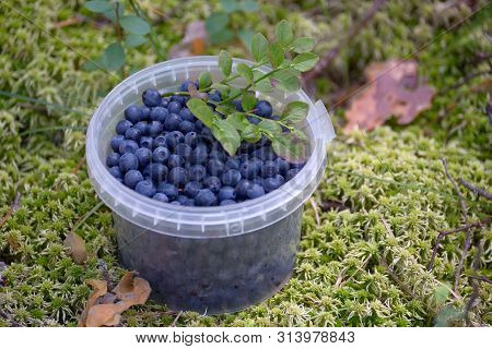 Blueberries In A Plastic Container On The Moss In The Forest