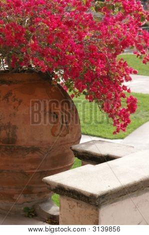 Beautiful Bouganvillea In Clay Pot