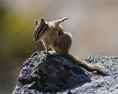 Chipmunk on a rock in the morning sunlight with stretched out paw scratching where it itches poster