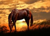 Portrait of grazing red horse on sunset poster