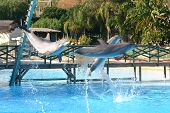dolphins leaping out of a pool poster