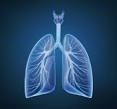 Human lungs and bronchi in x-ray view poster