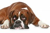 Boxer dog sad lying on a white background poster