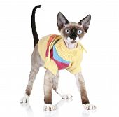 Cat breed Devon-rex in a sweater on white background poster