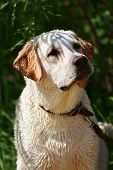 Portrait of wet labrador retriever after bathing in the river poster