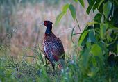 Common Pheasant (Phasianus colchicus) is a large, brightly colored bird of the order Aves. poster