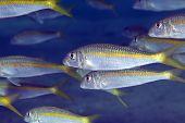 Yellowfin goatfish (mulloidichthys vanicolenses) in the Red Sea. poster
