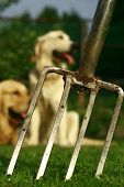 A gardening fork stabbed into the grass with two golden retrievers in the background. Perfect for a Fathers/Mothers day card or someone into dogs and gardening. poster
