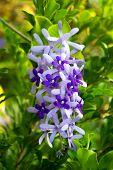 Close up the flower of Purple Wreath, Sandpaper Vine poster