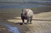 African rhinoceros fresh from battle.Ngorongoro Crater Tanzania poster