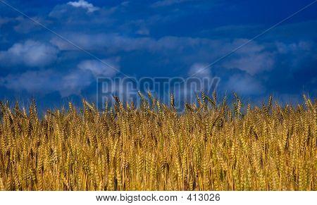Natur - Weizenfeld