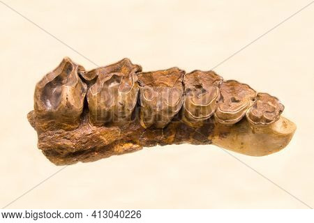The Upper Dentition Of The Hornless Rhinoceros Indricotherium (latin: Indricotherium Transouralicum)