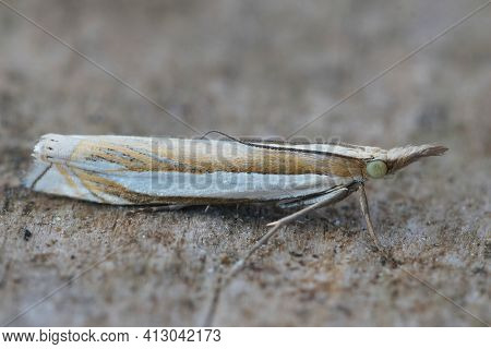 Detailed Closeup Of The Common Micro Moth Inlaid Grass-veneer, Crambus Pascuella On A Piece Of Wood