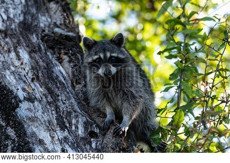 Young Raccoon Procyon Lotor Marinus Forages For Food