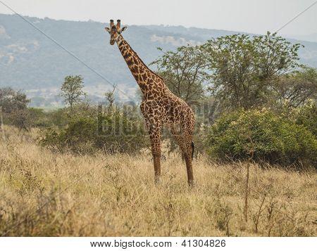 Big Giraf in Africa