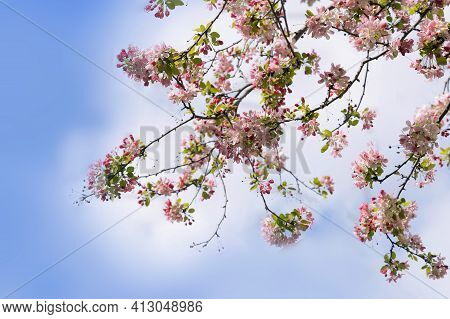 Blooming Pink Tree Branch On Spring Blue Sky With Light Clouds Background.