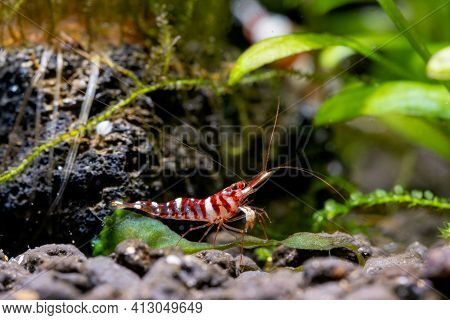 Tigri Sulawesi Dwarf Shrimp Stay Near Rock And Aquatic Plant Also Look For Food In Aquatic Soil In F
