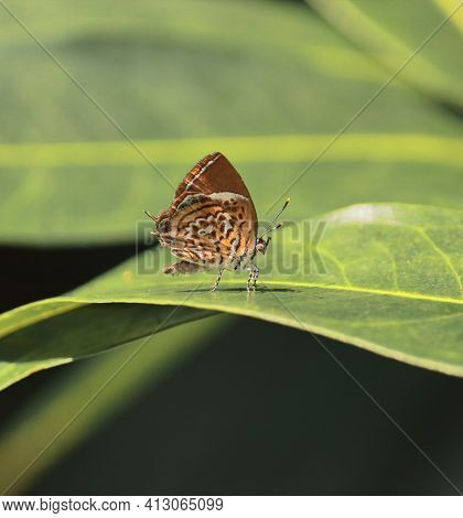 Rathinda Amor Or Monkey Puzzle Butterfly Is Sitting On A Leaf In A Tropical Rainforest In India