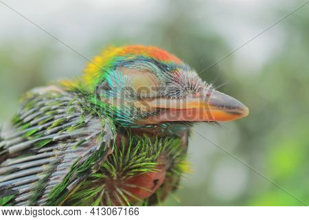 Close Up View Of Juvenile Blue Throated Barbet (megalaima Asiatica) In A Tropical Rainforest, India