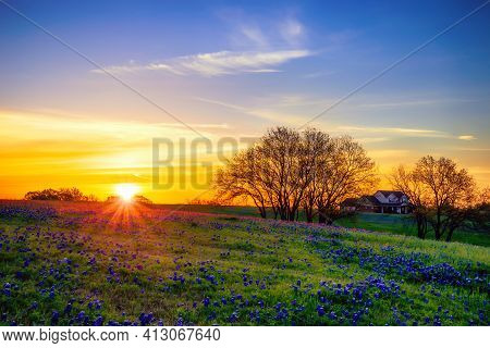 Texas Bluebonnet Wildflower Field Blooming In The Spring At Sunrise