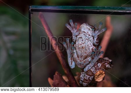 Small Tree Frog - Hylidae Climbing On Glass Wall Of Aquarium Or Terrarium - Close Up View. Zoology C
