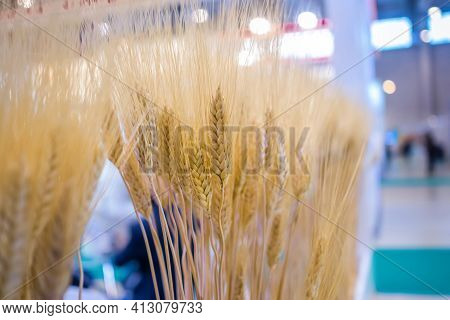 Sheaf Of Golden Wheat Ears At Agricultural Exhibition, Trade Show - Close Up View. Cultivation, Orga