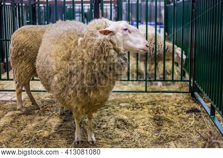 Portrait Of Funny Cute East Friesian Sheep At Agricultural Animal Exhibition, Small Cattle Trade Sho