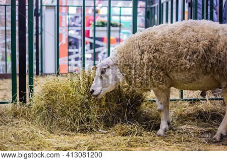 Portrait Of Funny Cute Texel Sheep Eating Hay At Agricultural Animal Exhibition, Small Cattle Trade