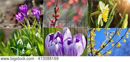 Collage mix set of Crocus spring flowers in garden. Sunny time springtime day with sunshine light. Close-up. Shallow depth of field.
