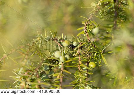 Juniper Branch With Green Unripe Berries In Nature. Juniperus Communis. Close Up, Selective Focus