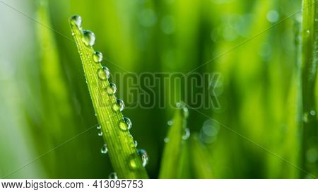 Macro Wet Spring Green Grass Background With Dew. Natural Beautiful Water Drop On Leaf In Sunlight,