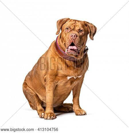 Dogue de Bordeaux wearing a brown collar dog sitting in front, isolated