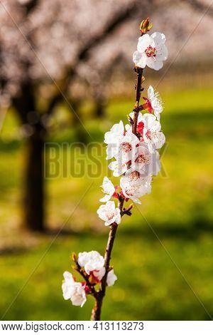 Apricot Tree In Bloom In Wachau, Austria