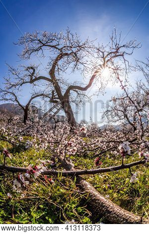 Apricot Orchard In Bloom Against Blue Sky In Wachau Valley, Austria