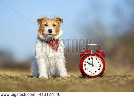 Obedient Cute Jack Russell Terrier Dog Puppy Sitting In The Grass With An Alarm Clock. Pet Training