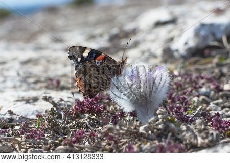 The Admiral Butterfly Vanessa Atalanta Sits On The Flower Of The Dream-grass Pulsatilla And Collects