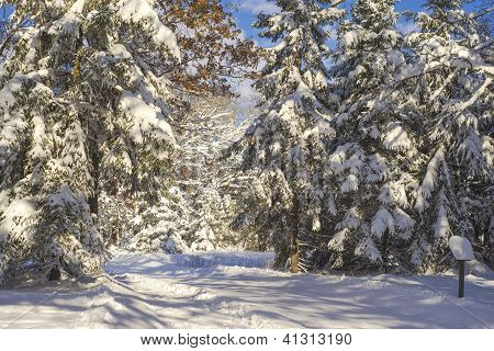 Snow Flocked Pines, Ski Trail