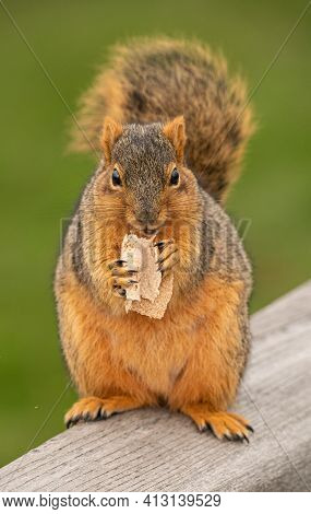 Eastern Fox Squirrel Is Eating A Snack On A Picnic Table At The Park